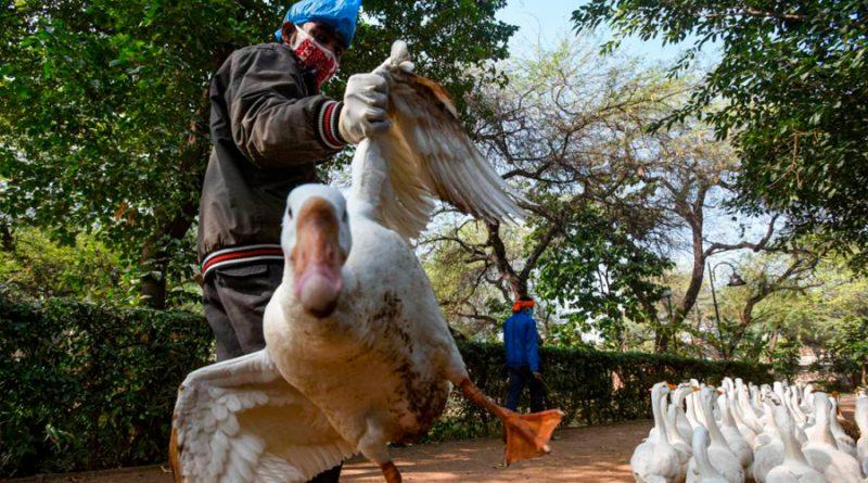 Los científicos chinos que identificaron la COVID-19 alertan sobre la gripe aviar H5N8