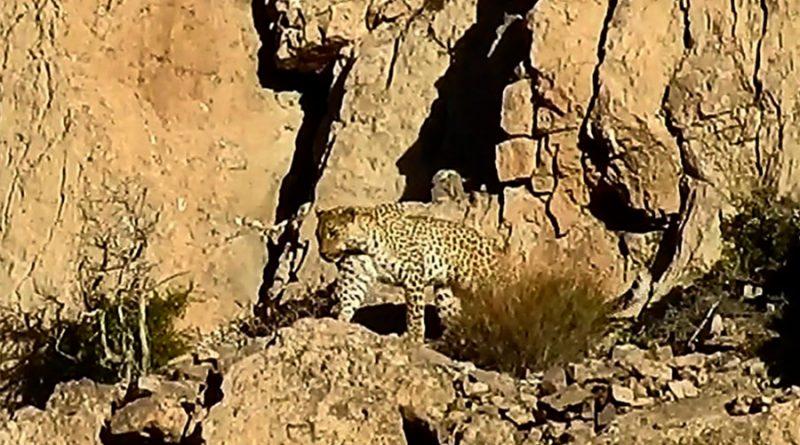 Captan a pareja de rara especie de leopardos en Pakistán