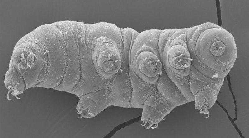 Los tardígrados también sobreviven a impactos a velocidad espacial