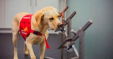 Los perros pueden detectar el covid-19 con una precisión de hasta el 94 %