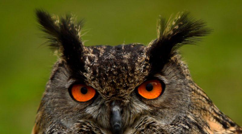 Descubren rara especie de búho con ojos anaranjados