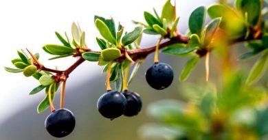 Maqui, murta y calafate: las maravillosas propiedades de los frutos patagónicos que la ciencia está descubriendo ahora