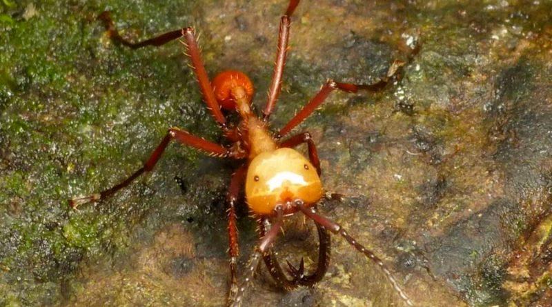 Las hormigas guerreras atacan en masa por la expansión de sus colonias