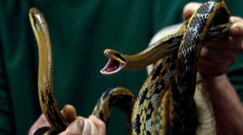 Descubren en el excremento de una serpiente bacterias resistentes a varios antibióticos