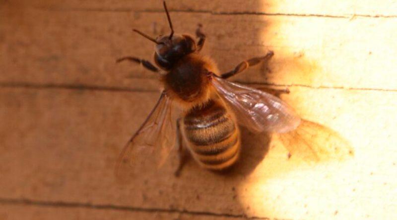 Una feromona de alarma regula el ataque de las abejas