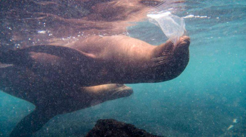 Leones marinos, tortugas e iguanas se topan ya con el plástico en las islas Galápagos