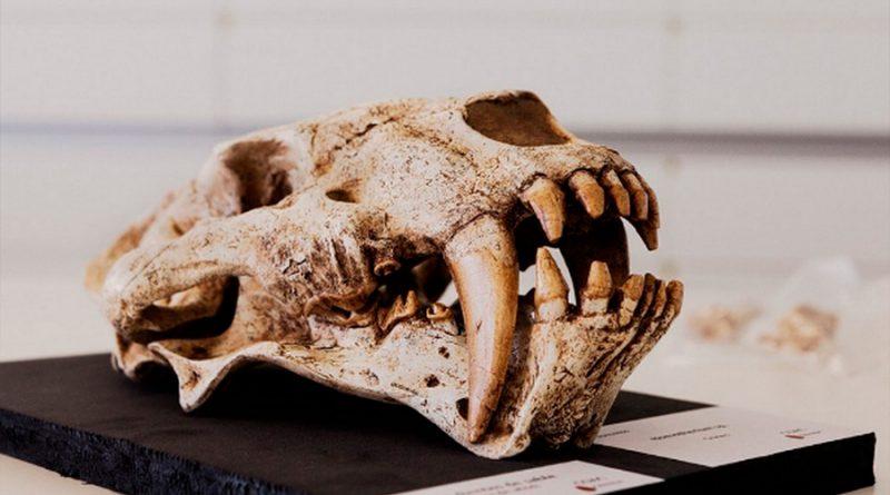 Hallan un nuevo tipo de ejemplar de dientes de sable de hace 2,5 millones años