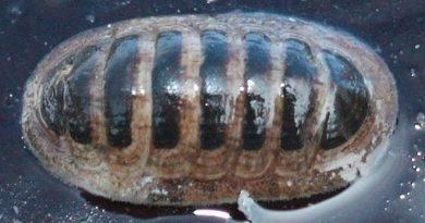 Descubren un extraño molusco con dientes de metal