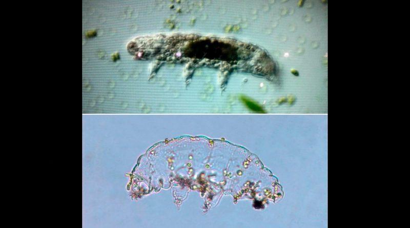 Con organismos indestructibles estudian impacto en humano de viajes al espacio