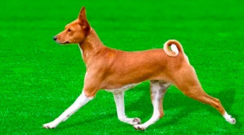 El genoma del perro que no ladra ilumina la evolución de los canes
