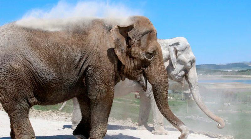 Los elefantes manipulan el aire con su trompa para comer y beber
