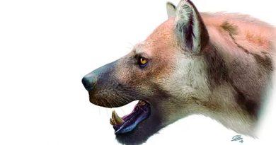 """Identifican un """"perro-oso"""" nuevo para la ciencia que habitó en la Península"""