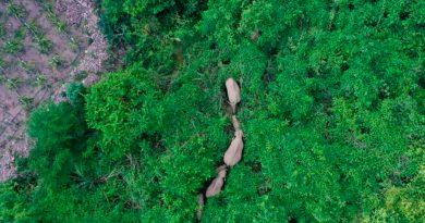 Manada de elefantes ha recorrido más de 500 kms y tiene desconcertados a los científicos en China