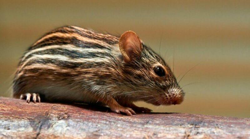 Un gen humano hace que los ratones sean más inteligentes