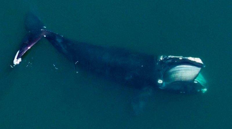 Las ballenas del Atlántico Norte son cada vez más pequeñas