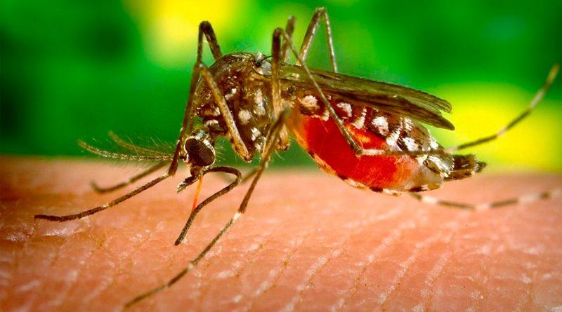 Crean nuevas herramientas CRISPR para ayudar a contener la transmisión de enfermedades de mosquitos