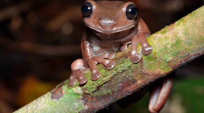 Rana de chocolate: descubren nueva especie de anfibio en Nueva Guinea