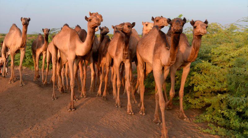 Unas pocas mutaciones protegen a los humanos del coronavirus de los dromedarios