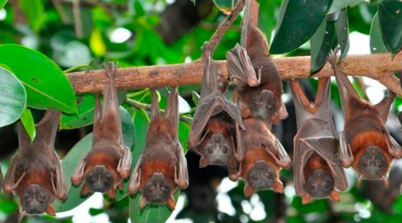 """""""Equivocada y dañina"""", la idea de que los murciélagos causaron la pandemia"""