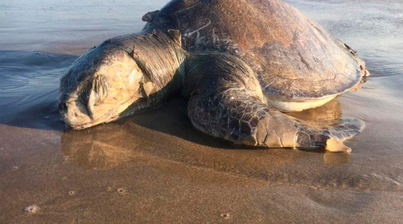Preocupa a ambientalistas muerte masiva de tortugas caguama en México