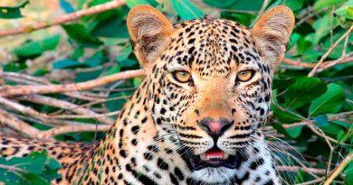 Buscan ingresar más jaguares desde México a EU