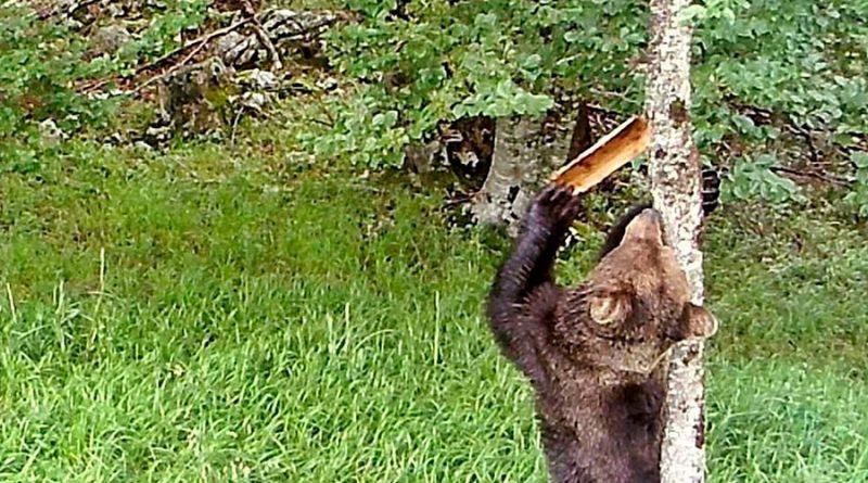 Los osos pardos usan las marcas en los árboles para comunicarse
