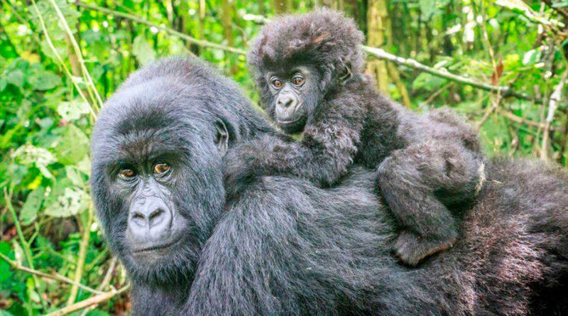 Descubren que los gorilas también adoptan a crías huérfanas como los humanos