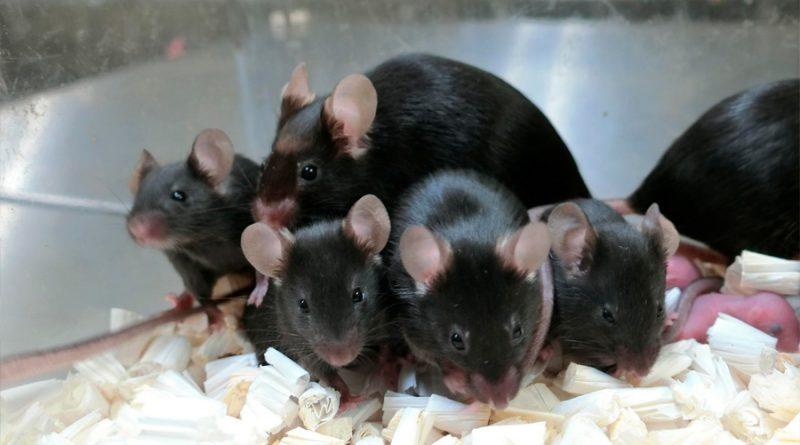 La radiación cósmica no afecta al esperma de los ratones y pueden tener crías
