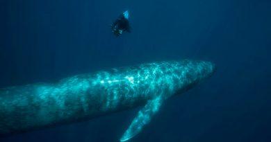 Detectores de bombas nucleares descubren, por error, población de ballenas azules
