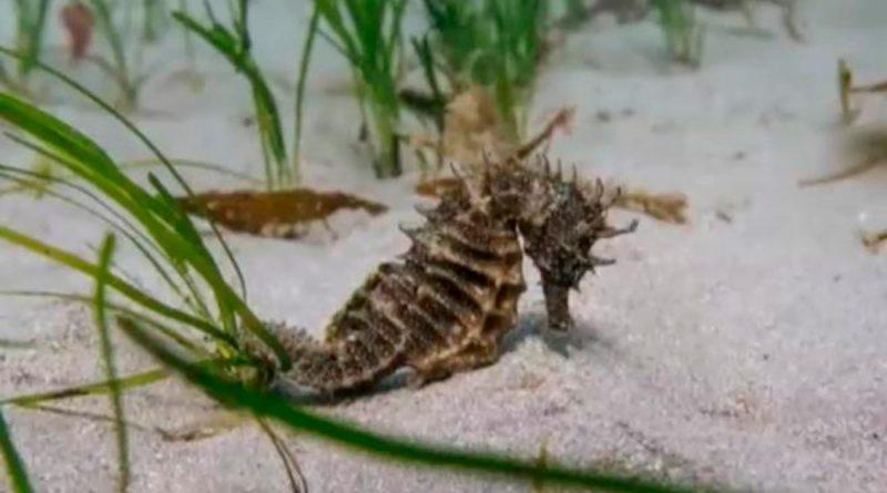 Biólogos marinos hallan una especie desaparecida de caballito de mar espinoso en Inglaterra