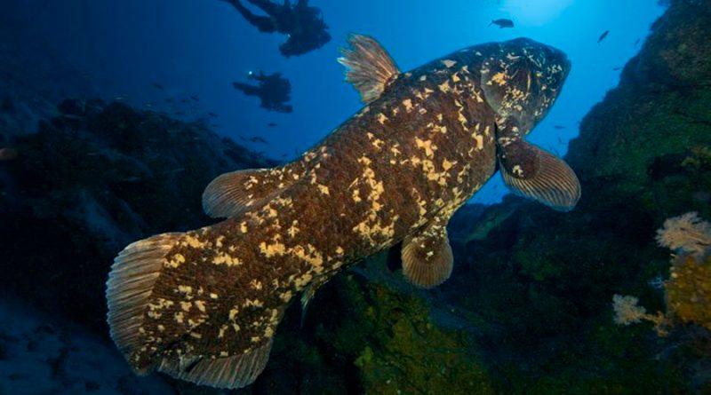Los celacantos pueden vivir casi un siglo, 5 veces más de lo estimado