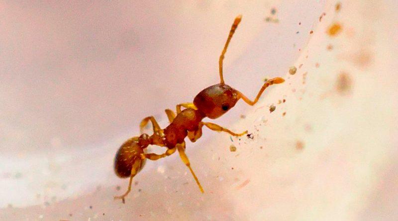 Un parásito alarga la vida de las hormigas obreras