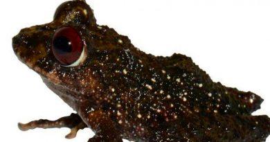 Ledzeppelin, nueva especie de rana en Ecuador