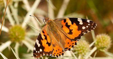 Mariposas cruzan el Sáhara en la migración de insectos más larga