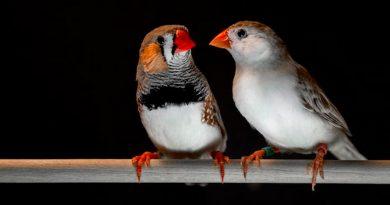 Pájaros cantores y humanos comparten patrones de habla comunes