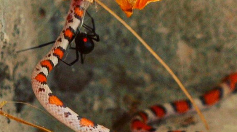 Las arañas devoran serpientes, de hasta 30 veces su tamaño