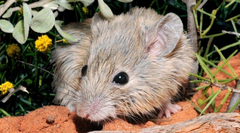 Una especie de ratón 'resucita' 150 años después de su extinción