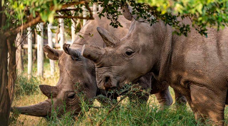 Crean doce embriones para salvar al rinoceronte blanco del norte; quedan dos ejemplares hembra