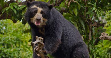 Descubren una población de osos de anteojos en los bosques secos de Bolivia