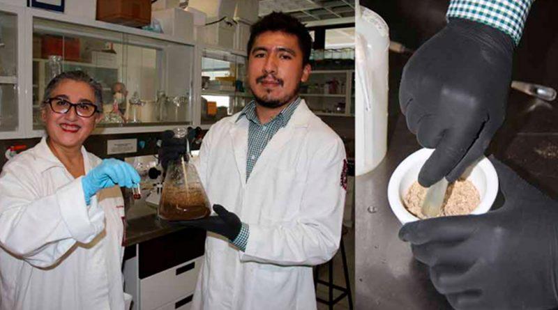 Descubren investigadores mexicanos que planta de gordolobo ayuda a hígado graso