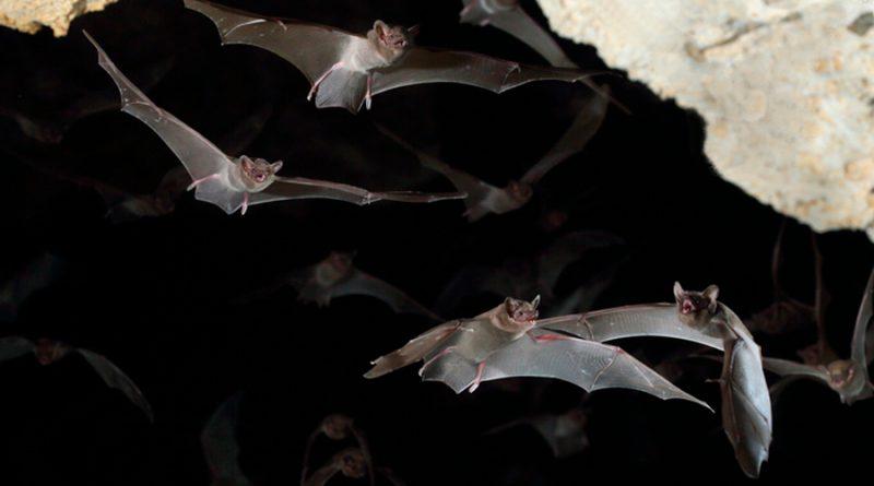 """Los murciélagos enfermos toman """"sana distancia"""", revela estudio"""