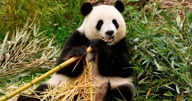 """El oso panda ya no es especie """"en peligro"""", según China"""