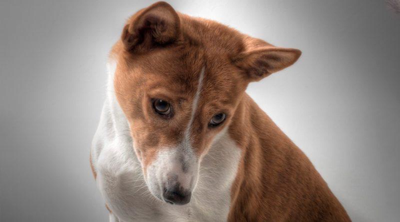 Basenji: el único perro en el mundo que no ladra; ve sus características