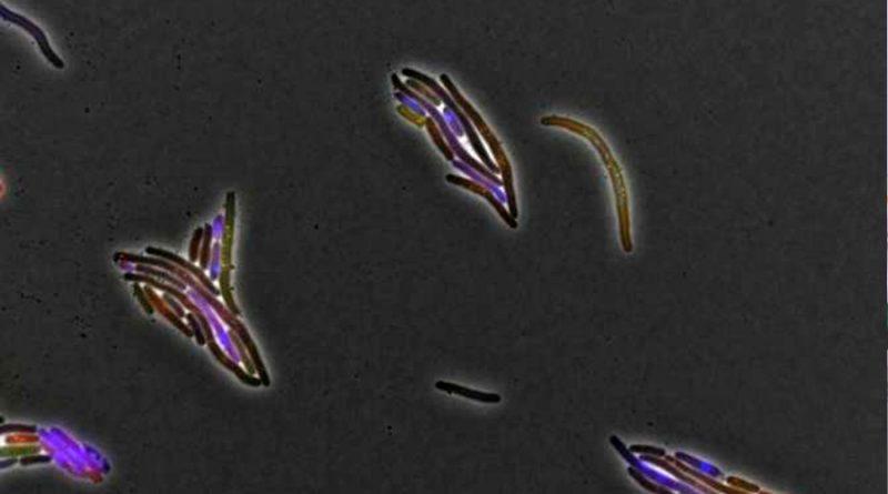 """Virus """"buenos"""" derrotando a bacterias """"malas"""", ¿vía contra las bacterias resistentes a los antibióticos?"""