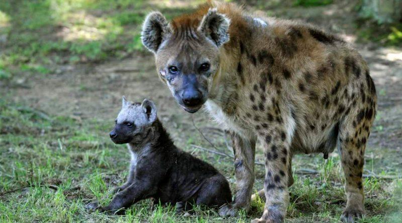 Entre las hienas, las redes sociales se heredan
