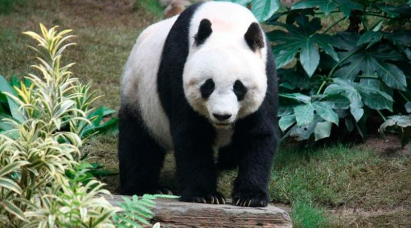 Así ha conseguido China sacar al oso panda del peligro de extinción