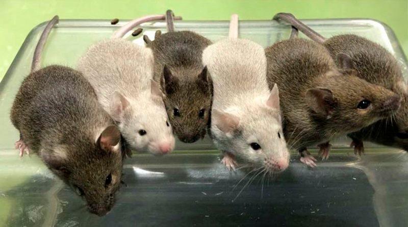 Científicos logran crear óvulos sanos a partir de células madre de ratón
