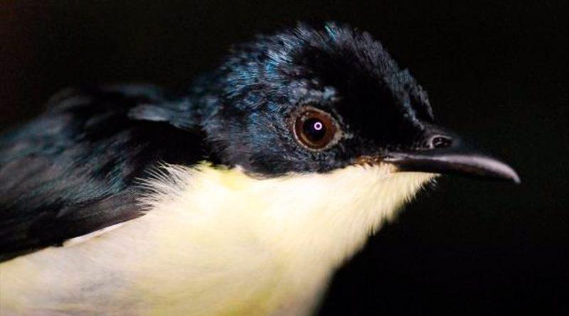 Descubren una nueva especie de ave en los bosques nubosos de Papúa