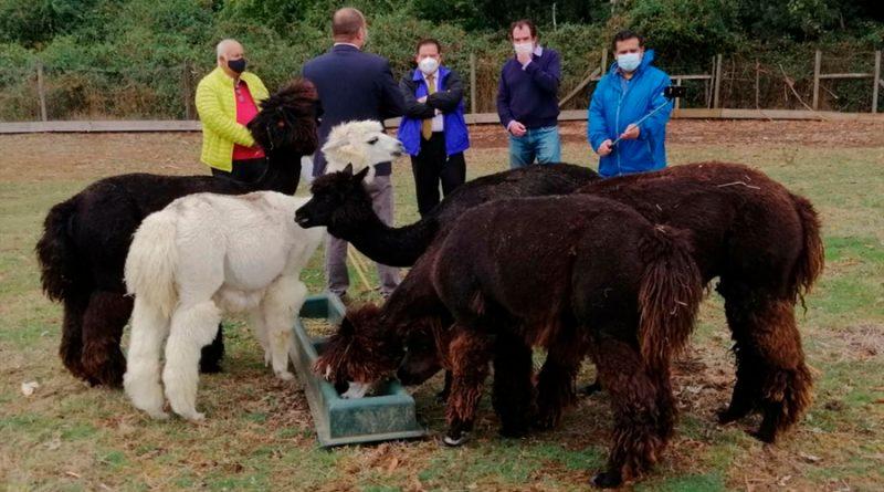 Científicos de AL investigan tratamientos anticovid con enalpacas y burros