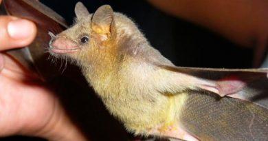 Estudian investigadores del IPN aportación ecológica de los murciélagos al sector mezcalero